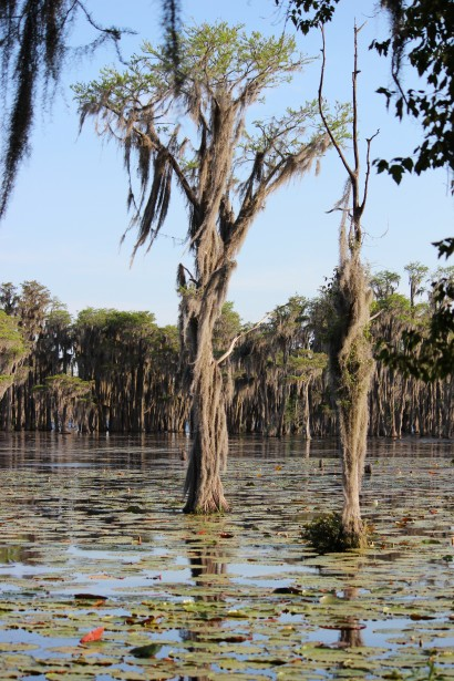 swamp-cypress-trees with spanish moss